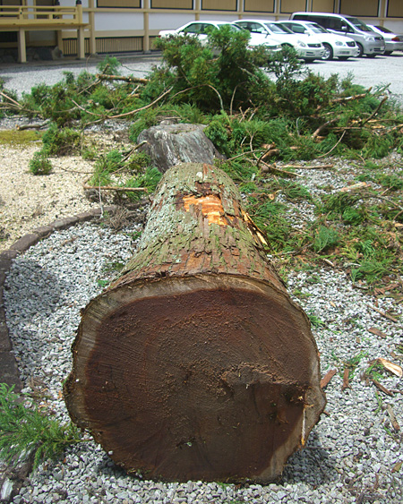 樹齢約150年