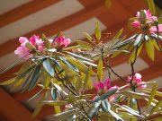 経蔵と石楠花