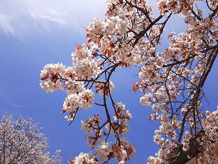 晴天の下の桜