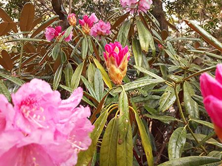 開きかけの石楠花の蕾